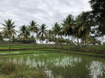 rismark ved Mysore